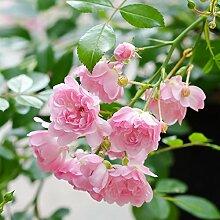 Rose The Fairy® - Bodendeckerrose zartrosa