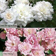 Rose The Fairy & The Fairy White - 6 Stück