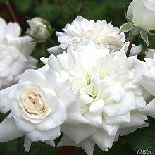 Rose The Fairy White- Bodendeckerrose weißen