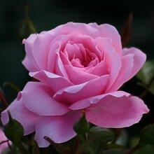 Rose The Queen Elizabeth Rose® - kräftige Pflanze im 6lt Container
