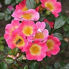 Rose Topolina- Bodendeckerrose pinke Blüten -