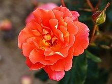 Rose Westerland ® Strauchrose, gelb orange,