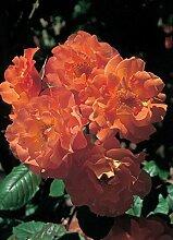 Rose Westerland ® Strauchrose mit ADR