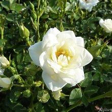 Rose White Cover/Kent® - Bodendeckerrose weiße