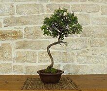 Rosemary bonsai tree (22)