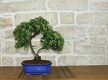 Rosemary bonsai tree (24)