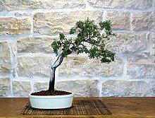 Rosemary bonsai tree (26)