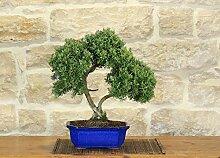 Rosemary bonsai tree (27)