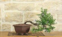 Rosemary bonsai tree (29)