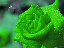 Rosen-Samen Blume Regenbogen-Rosen-Samen Pflanze Bonsai Blumensamen - 100 Stück Samen