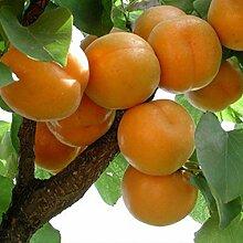 Rosepoem Aprikosenbaum Samen Obst Bonsai Pflanze