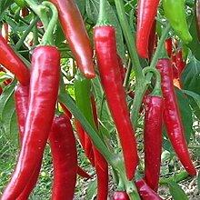 Rosepoem Riesige Pfeffer-Chili-Samen Samen für