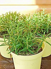 Rosmarin Pflanze Rosmarius officinalis Kräuter Pflanzen 4stk.