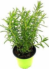 Rosmarin Pflanze Rosmarius officinalis Kräuter