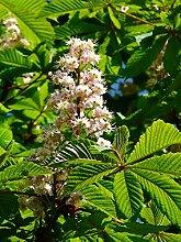 Rosskastanie Aesculus hippocastanum Pflanze 30cm Weiße Rosskastanie Kastanie