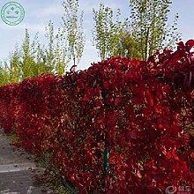 rot Bonsai Samen BOSTON SEEDS, Parthenocissus tricuspidata, Ranken / Climber Gartendekoration Pflanze frei 20pcs P10
