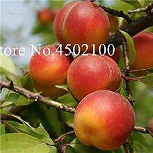 Rot: Neue 5 PC Bonsai Plum Obstbaum Pflanze,