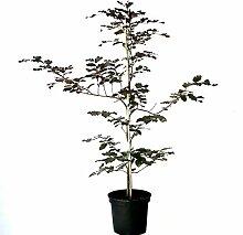 Rotbuche Buche Fagus sylvatica heimischer Waldbaum
