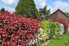 Rote Glanzmispel 'Red Robin' 80 cm