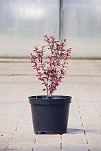 Rote Heckenberberitze Atropurpurea 40-60 cm