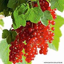Rote Johannisbeere 'Rolan' - Hochstamm