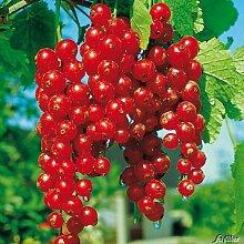 Rote Johannisbeere 'Rovada®' - Halbstamm
