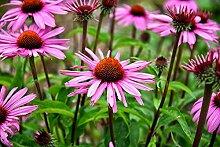 Rote Sonnenhut 35 Samen -Rudbeckia purpurea-