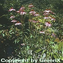 Roter Sonnenhut - Echinacea purpurea