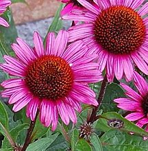 Roter Sonnenhut Fatal Attraction - Echinacea