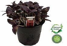 Rotes Basilikum, Marktfrische Kräuter Pflanze, Basilikum