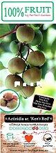 rotfleischige Mini Kiwi (Actinidia arguta), Sorte: