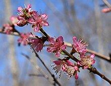 Rotlaubiger Wildpfirsich Prunus persica