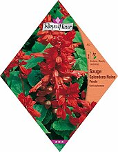 Royalfleur PFRV00852 Samen der Chia Splendens
