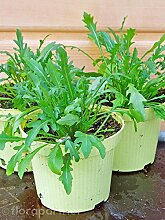 Rucola Diplotaxis tenuifolia Gemüse Pflanze 4stk.