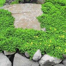 Rupturewort Green Carpet Bodendecker Samen