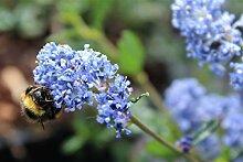 Säckelblume, Kalifornischer Flieder