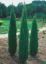 Säulen-Wacholder Sentinel -Juniperus communis
