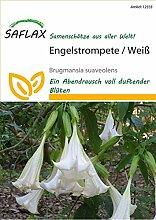 Saflax 12333 Engelstrompete Weiß