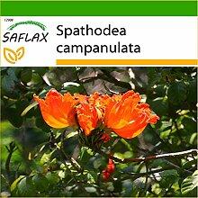 SAFLAX - Afrikanischer Tulpenbaum - 30 Samen - Mit