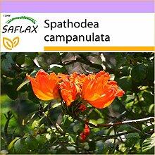 SAFLAX - Afrikanischer Tulpenbaum - 30 Samen -