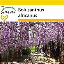 SAFLAX - Anzucht Set - Afrikanischer Blauregen -