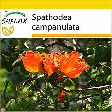SAFLAX - Anzucht Set - Afrikanischer Tulpenbaum -