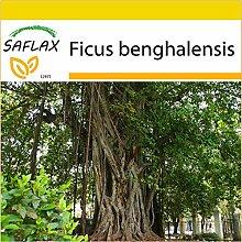 SAFLAX - Anzucht Set - Bengalische Würgefeige -