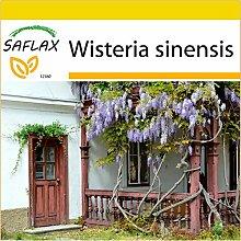 SAFLAX - Anzucht Set - Blauregen - 4 Samen -