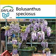SAFLAX - Anzucht Set - Bonsai - Afrikanischer