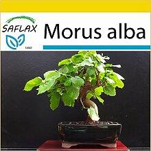 SAFLAX - Anzucht Set - Bonsai - Weißer