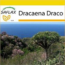 SAFLAX - Anzucht Set - Drachenbaum - 5 Samen -