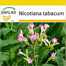 SAFLAX - Anzucht Set - Echter Virginischer Tabak -
