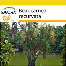 SAFLAX - Anzucht Set - Elefantenfuß/Flaschenbaum