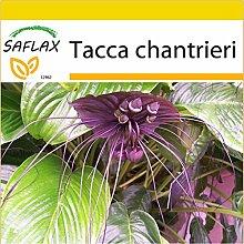 SAFLAX - Anzucht Set - Fledermausblume - 10 Samen